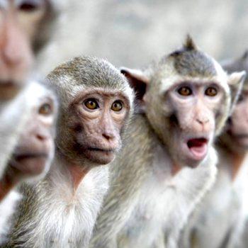 Monos matan a anciano con ladrillos