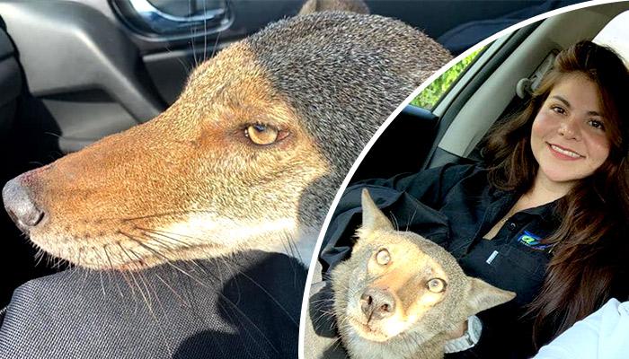 Rescata a coyote herido pensando que era un perro de la calle en Tamaulipas